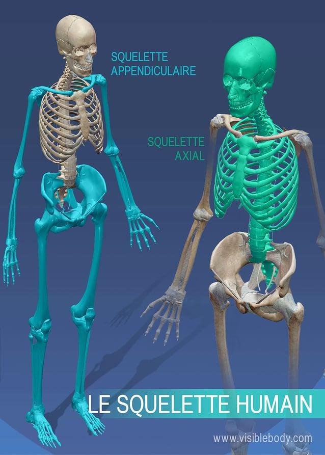Squelette appendiculaire contre squelette axial