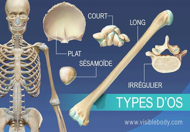 Aperçu des cinq types d'os, long, court, plat, irrégulier et sésamoïde