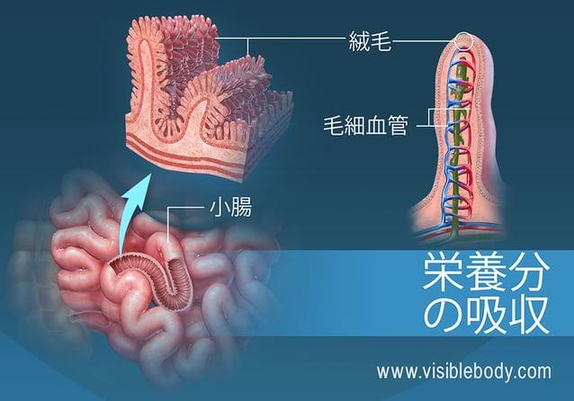 小腸にある絨毛の断面図