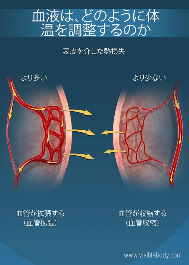 表皮の近くの毛細管の大きさが、人体の熱保持に影響を及ぼします