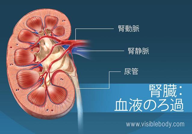 腎臓での血液の濾過