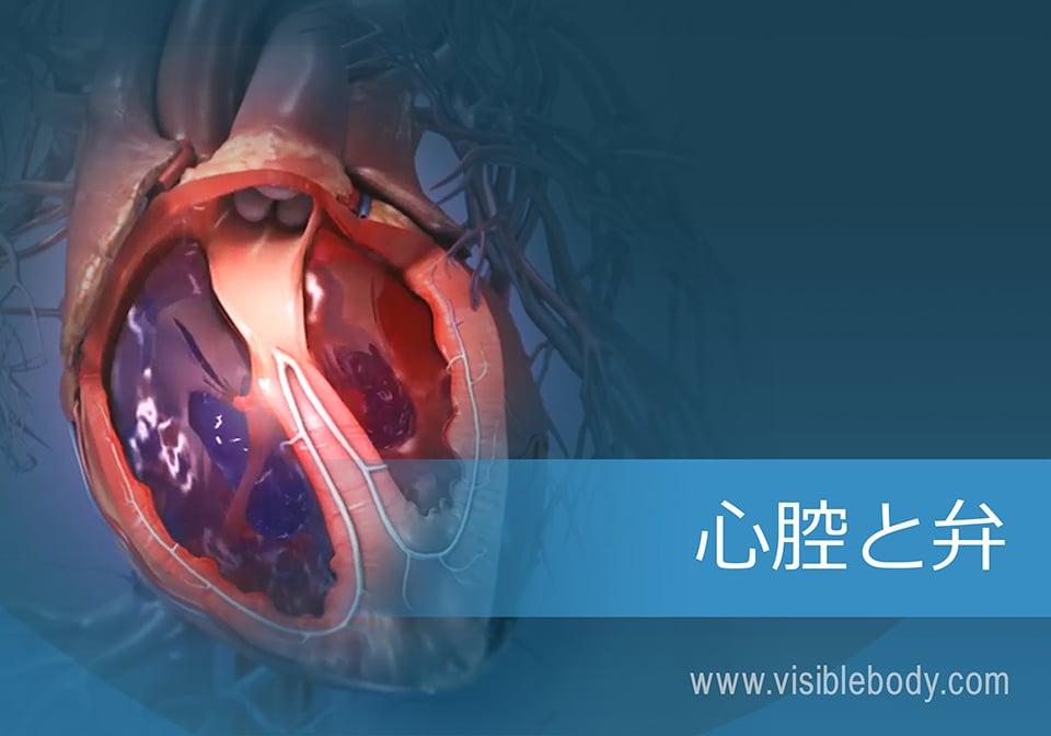 心臓-心腔-および-弁