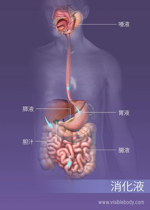 消化器系によってさまざまな液が分泌されます