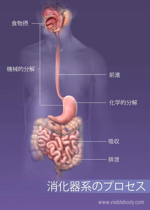 身体での経口摂取、消化、吸収、および排泄