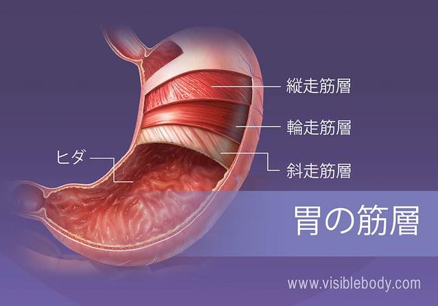 胃の4つの平滑筋層