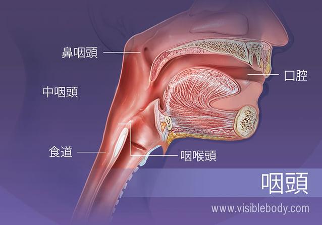 咽頭の構造: 鼻咽頭、中咽頭および咽喉頭