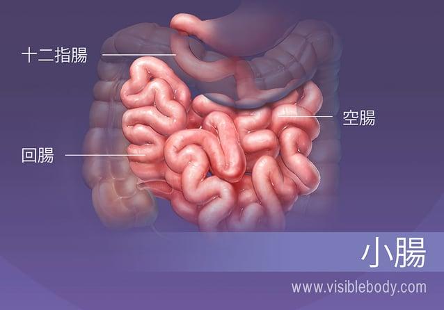 小腸には、十二指腸、空腸および回腸の3つの区分があります。