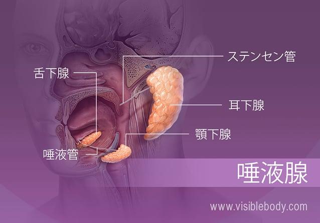 口内の様々な唾液腺の位置