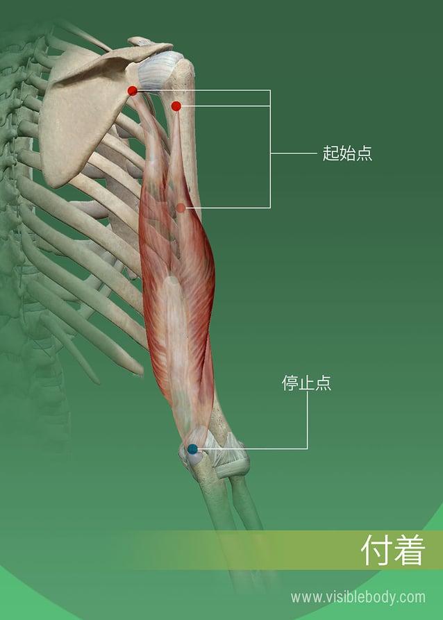 骨上の筋肉の起始点および停止点