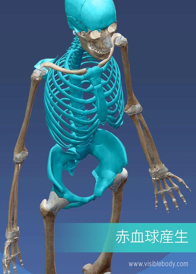 軸骨格の腹部領域における赤血球の産生