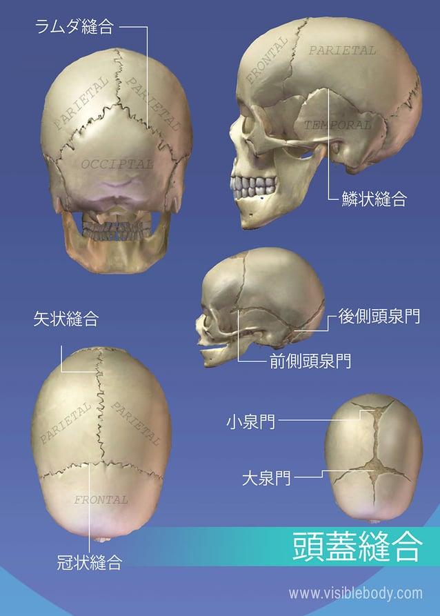 頭蓋の縫合