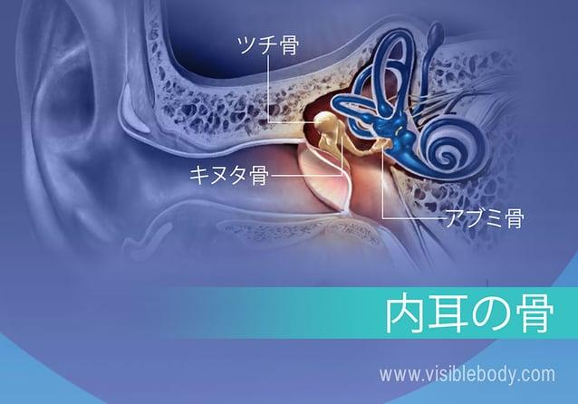 内耳骨、キヌタ骨、ツチ骨、およびアブミ骨