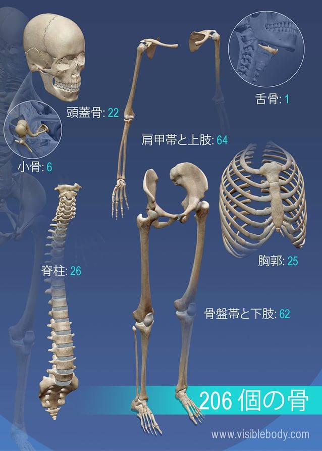 さまざまな骨の概説