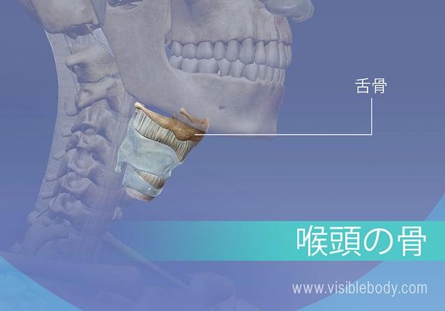 舌骨と喉頭