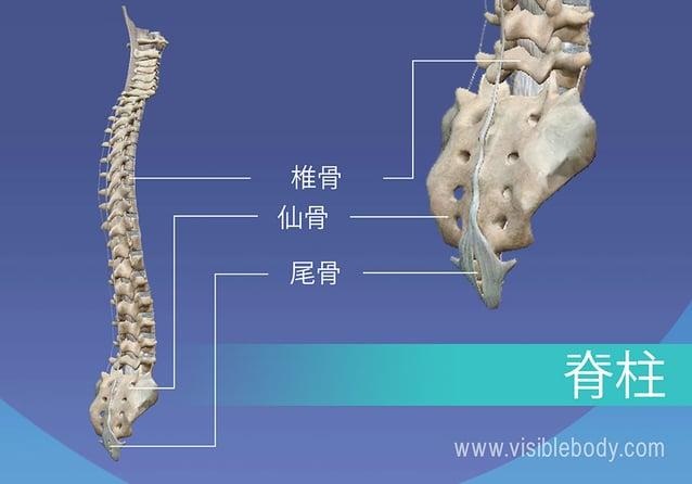 脊柱の椎骨、仙骨、および尾骨