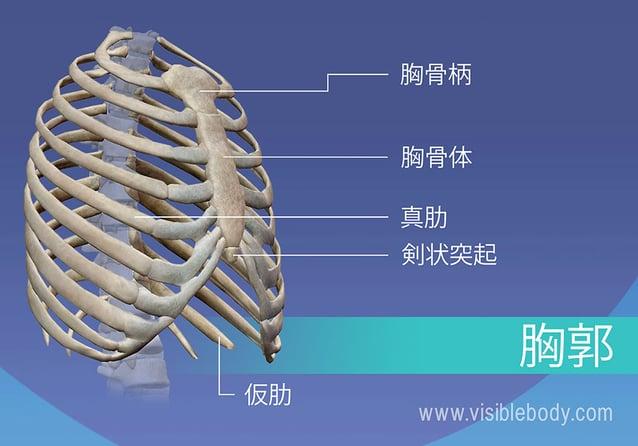 胸郭にある胸骨柄、真肋と仮肋、胸骨および剣状突起