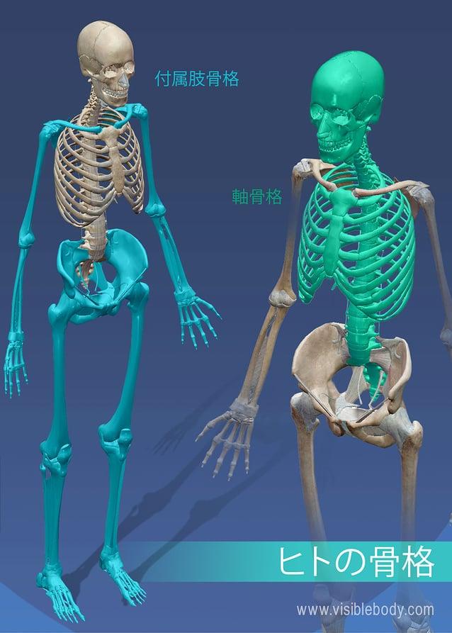 付属肢骨格対軸骨格