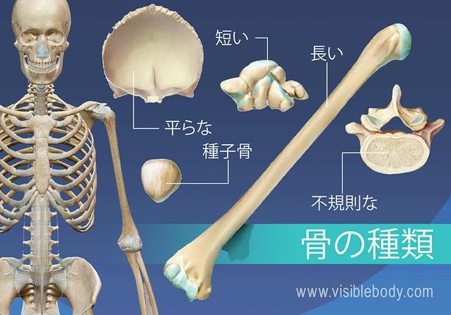5つの骨の型の概説(長、短、扁平、不規則および種子)
