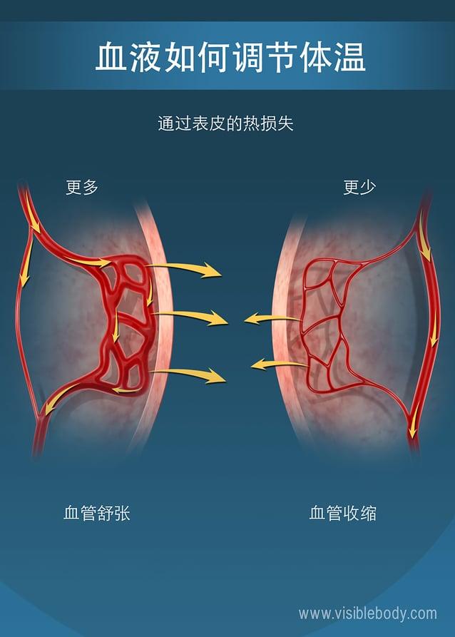 靠近表皮的毛细血管,其大小影响了人体的热量保持