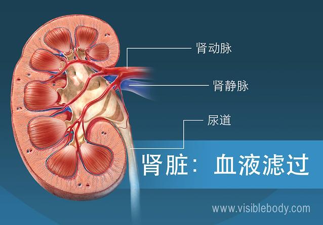 肾脏中的血液过滤