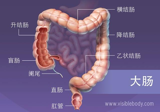 大肠的主要分段