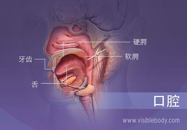 显示牙齿、舌头、硬腭和软腭的口腔剖面图