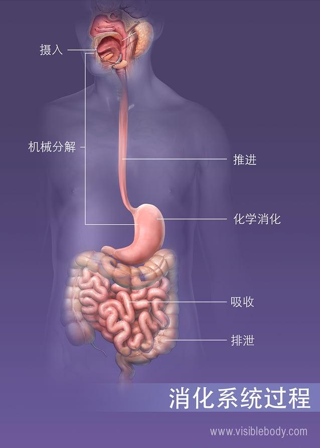 体内的摄入、消化、吸收以及排泄