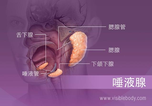 口腔中不同唾液腺体的位置