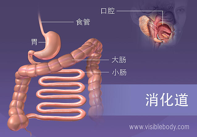 消化道的结构