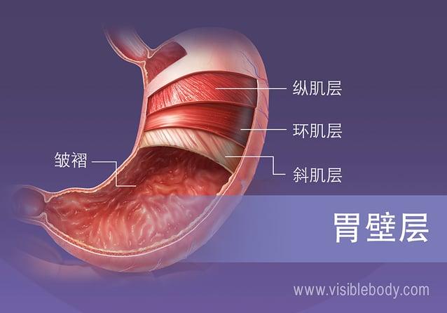胃的4个平滑肌层