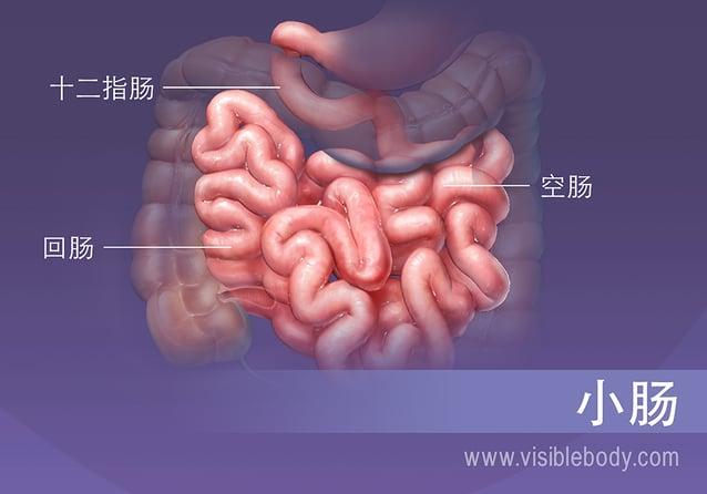 小肠的三段,十二指肠、空肠和回肠