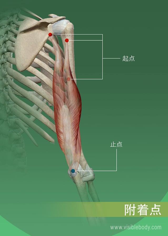 肌肉在骨骼上的起点和止点