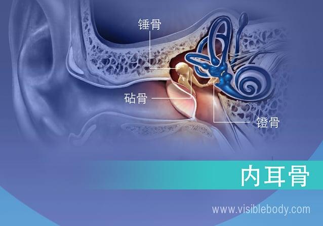 内耳骨骼,砧骨、锤骨和镫骨