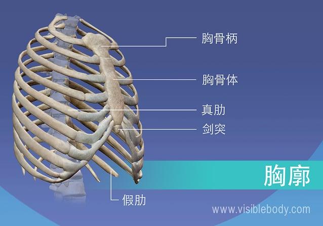 胸腔内胸骨柄、真假肋、胸骨和剑突