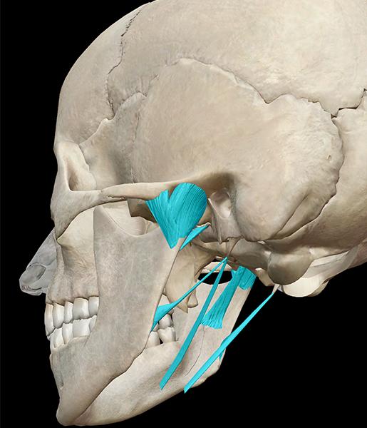 ligaments-skull