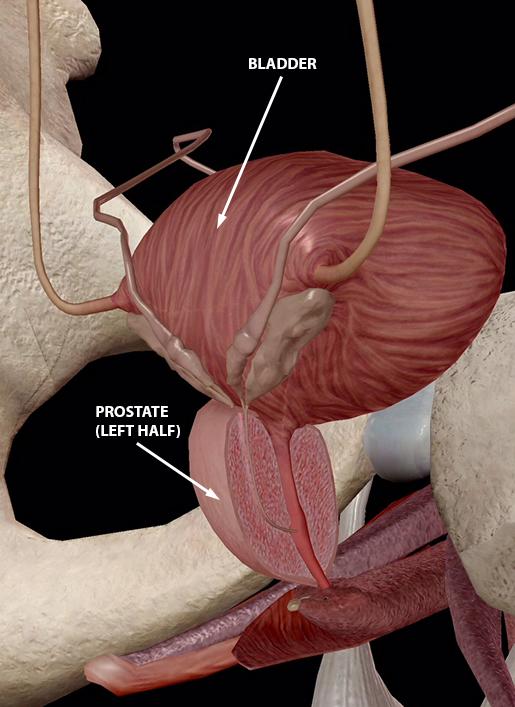 prostate anatomie 3d vizelet mennyisége egyszerre