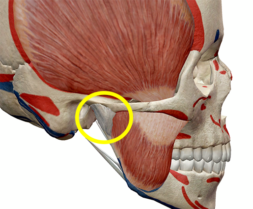 Learn Muscle Anatomy Muscles Of Mastication