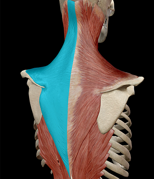 Learn Muscle Anatomy: Trapezius