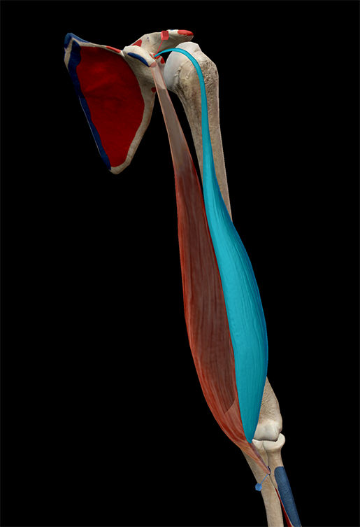 muscles-and-kinesiology-biceps-brachii-attachments