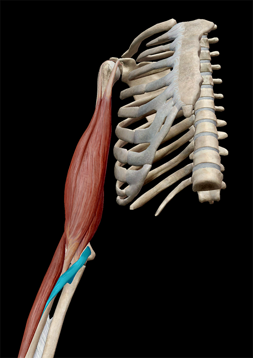 muscles-and-kinesiology-forearm-flexion-synergist