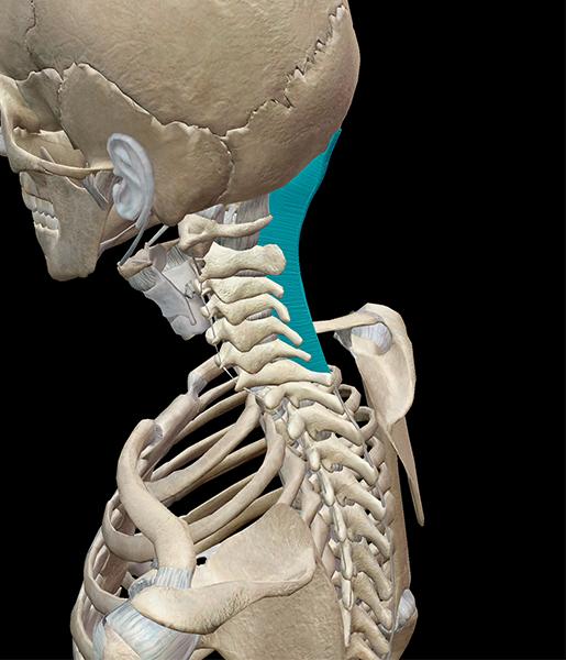 nuchal-ligament-neck