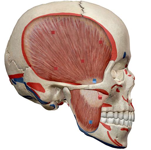skullmuscle1