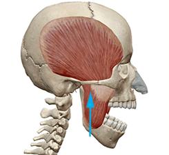 skullmuscle2