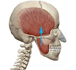 skullmuscle3