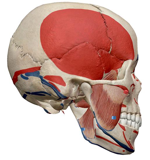 skullmuscle4