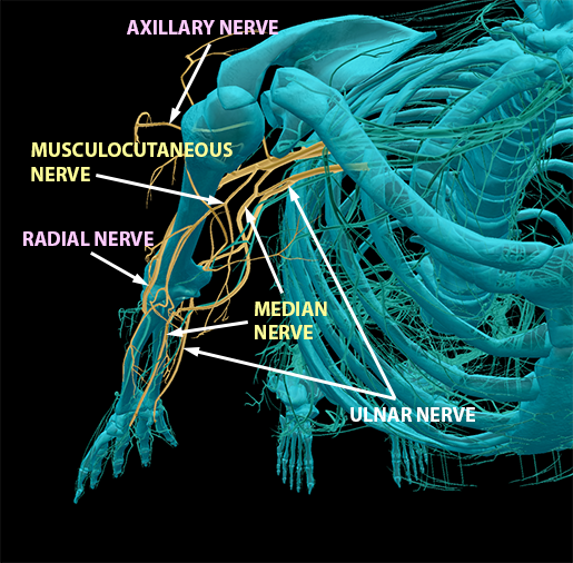 spinal-nerves-brachial-plexus-terminal-branches-full-4