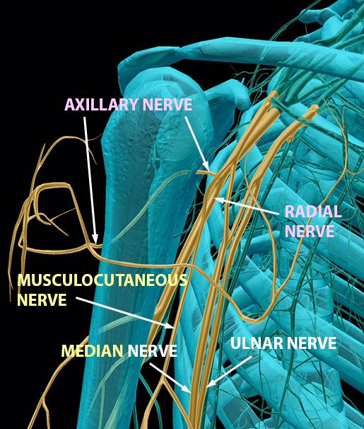 spinal-nerves-brachial-plexus-terminal-branches-upper-2