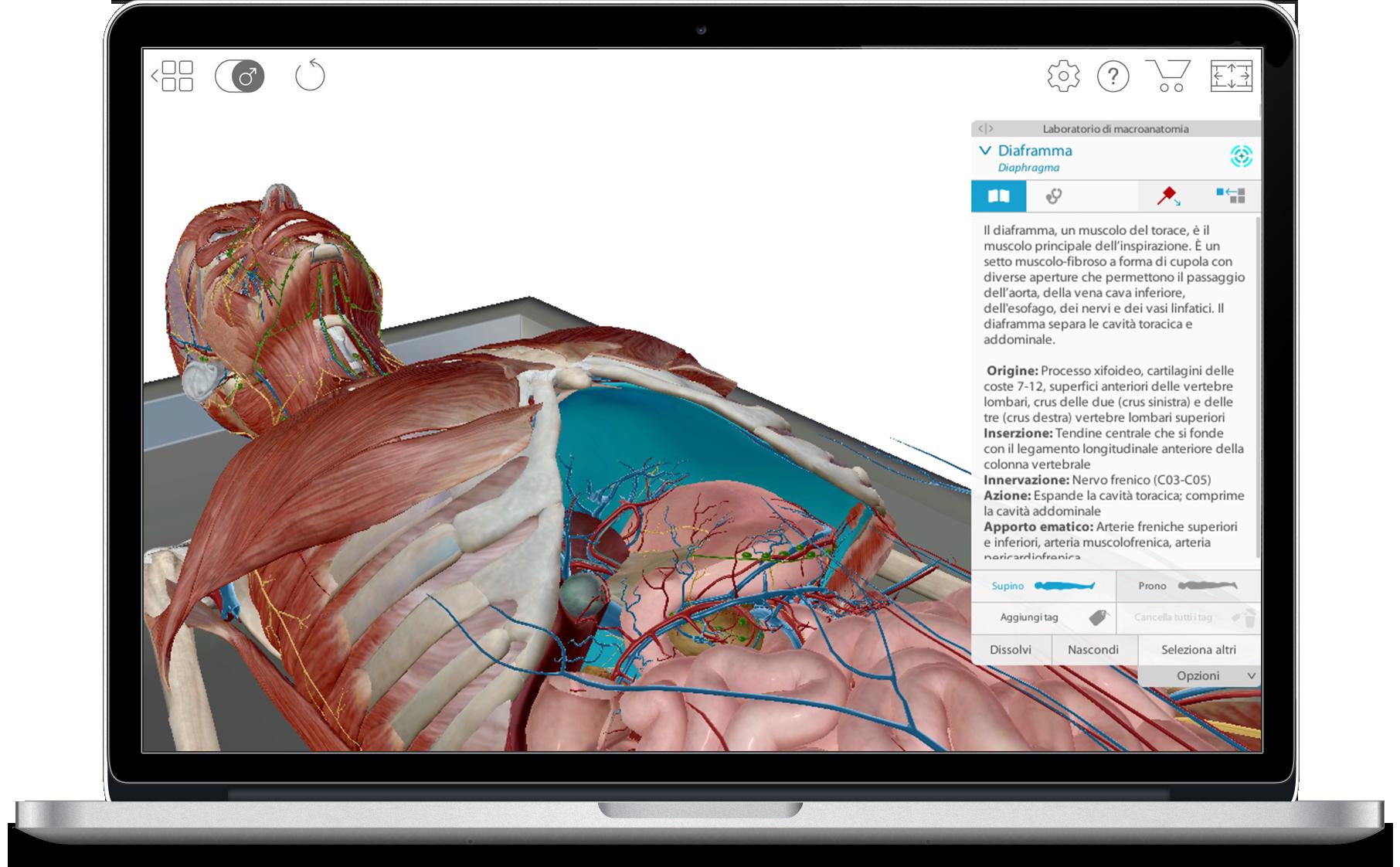 visible-body-3d-human-anatomy-atlas-full-body-diaphragm-it