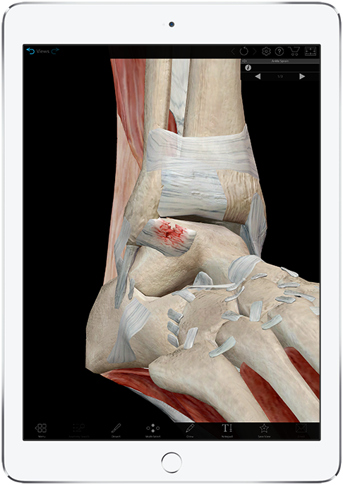 3d view of muscles, lilgaments, and bones around the ankle from Muscle Premium by Visible Body