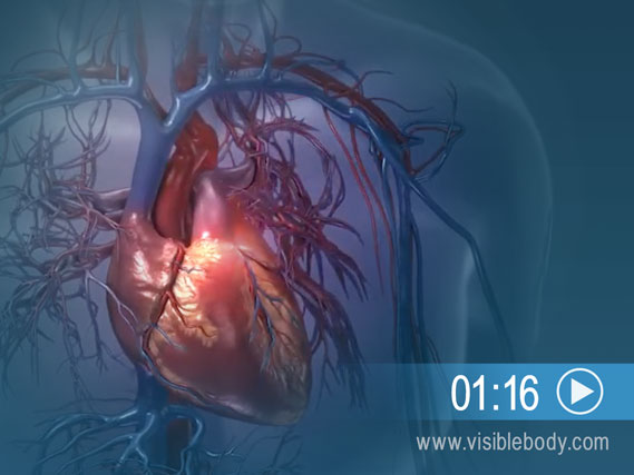 The pathways for oxygen delivery via blood circulation in the lungs and body